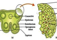 लघुबीजाणुधानी परिभाषा क्या है microsporangium definition in hindi लघु बीजाणु धानी किसे कहते है