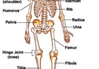 मानव कंकाल तंत्र , human skeletal system in hindi , मनुष्य के कंकाल तंत्र की संरचना चित्र skeleton