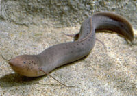 फुफ्फुस मछली या मीन (lungfish in hindi) | इक्थियोफिस (Icthyophis meaning in hindi) सैलामैंड्रा (salamandra)