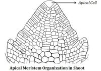अग्रस्थ कोशिका सिद्धान्त (apical cell theory in hindi) अग्रस्थ कोशिका सिद्धान्त किसने दिया