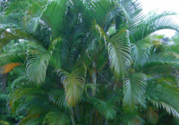 ऐरीकेसी (पामी) कुल (arecaceae or palmae family of plant in hindi)पौधों का नाम लिस्ट पादप
